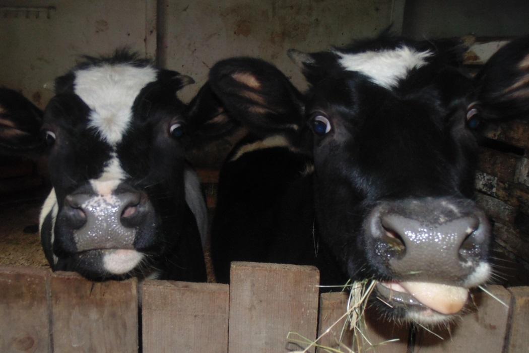 коровы в ик-16