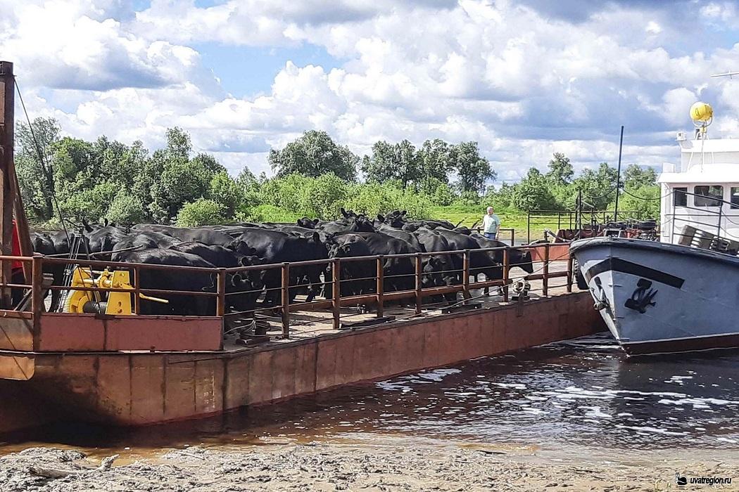 Перевоз скота в Уватский район