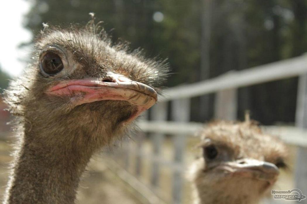 Тюменцы смогут переночевать в гостях у страусов