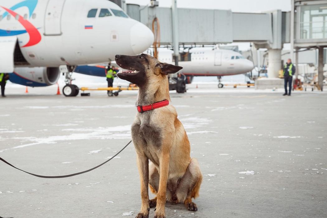 В аэропорту Кольцово появился новый сотрудник – овчарка Кайлин