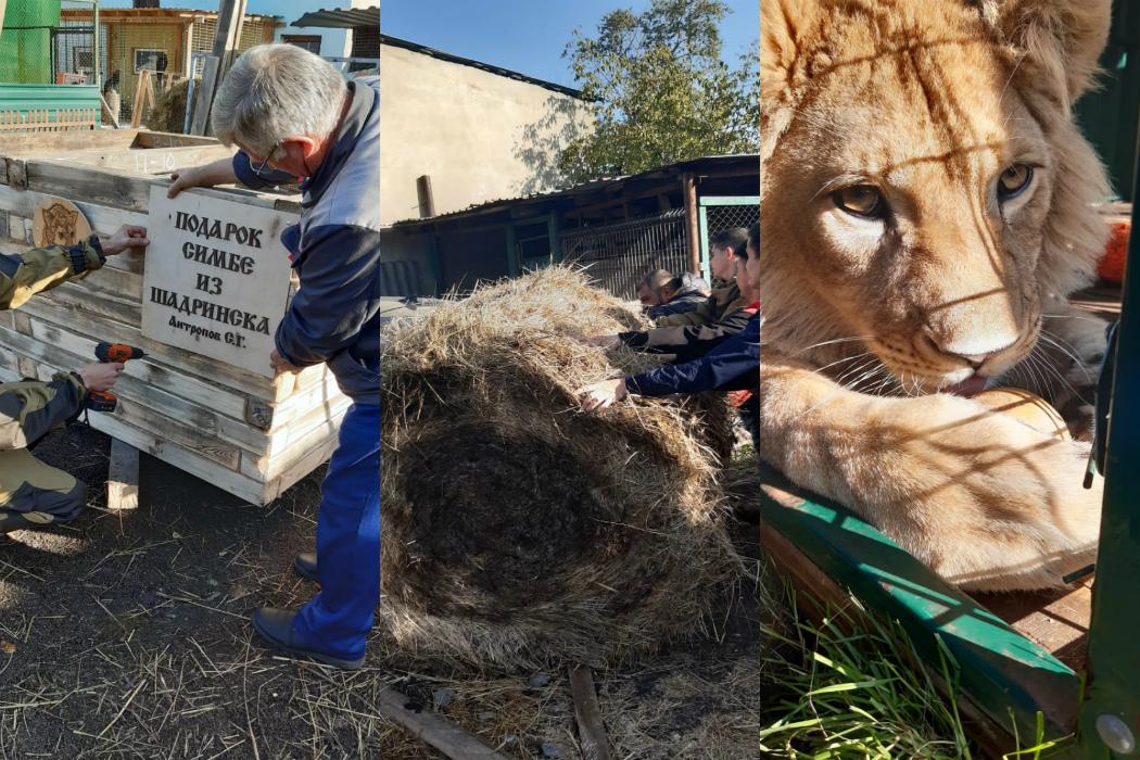 В Челябинске для львёнка Симбы построили деревянную избу