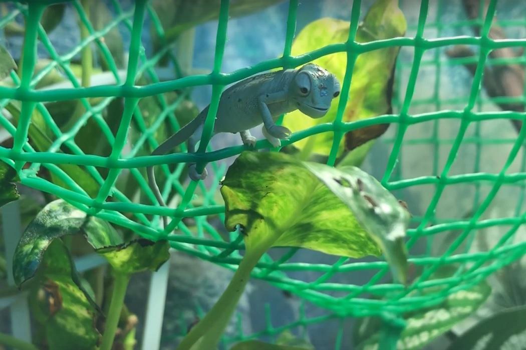 В Челябинском зоопарке вылупились маленькие хамелеоны