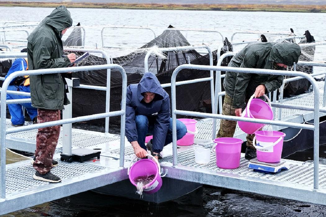 В реку Таз выпустят четверть миллиона особей ценной промысловой рыбы