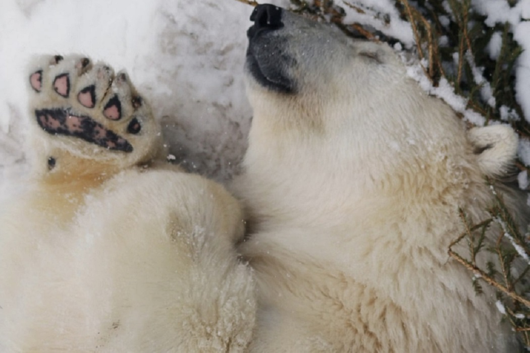 В Екатеринбургском зоопарке медведи уходят в спячку