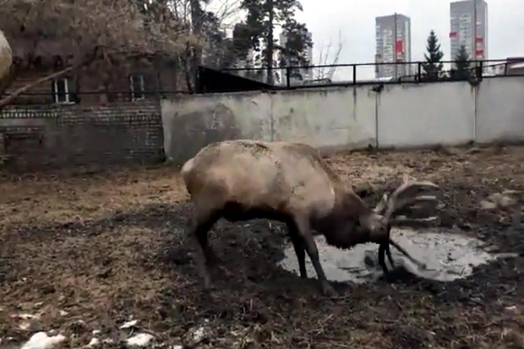 В Челябинском зоопарке алтайский олень искупал рога в луже
