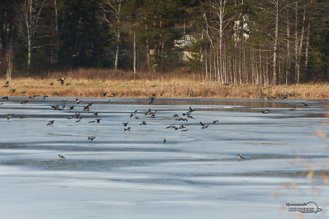 озеро птицы лед