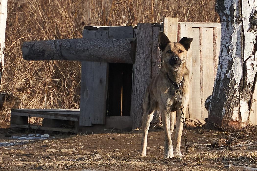 собака будка животные