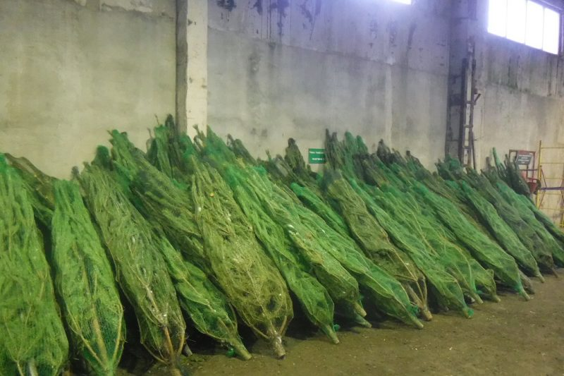 Тюменские таможенники изъяли 6 тонн новогодних елок