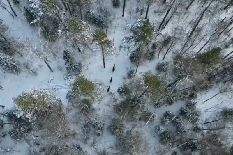 В Челябинской области на видео сняли миграцию лосей