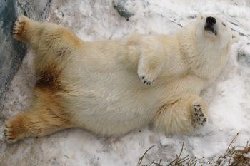 В екатеринбургском зоопарке медведь Умка празднует 25-летие