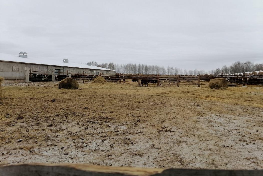 Зауральский фермер открыл цех по убою скота на крупный грант