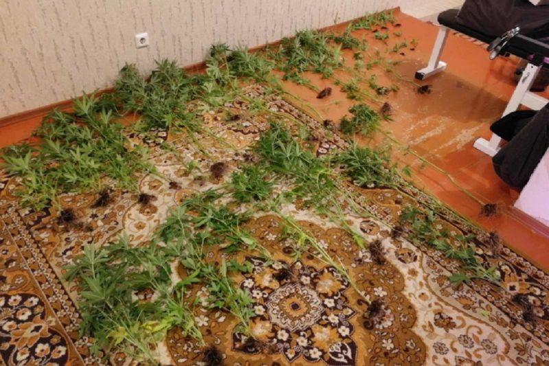 Житель Югорска выращивал в квартире более 30 кустов конопли