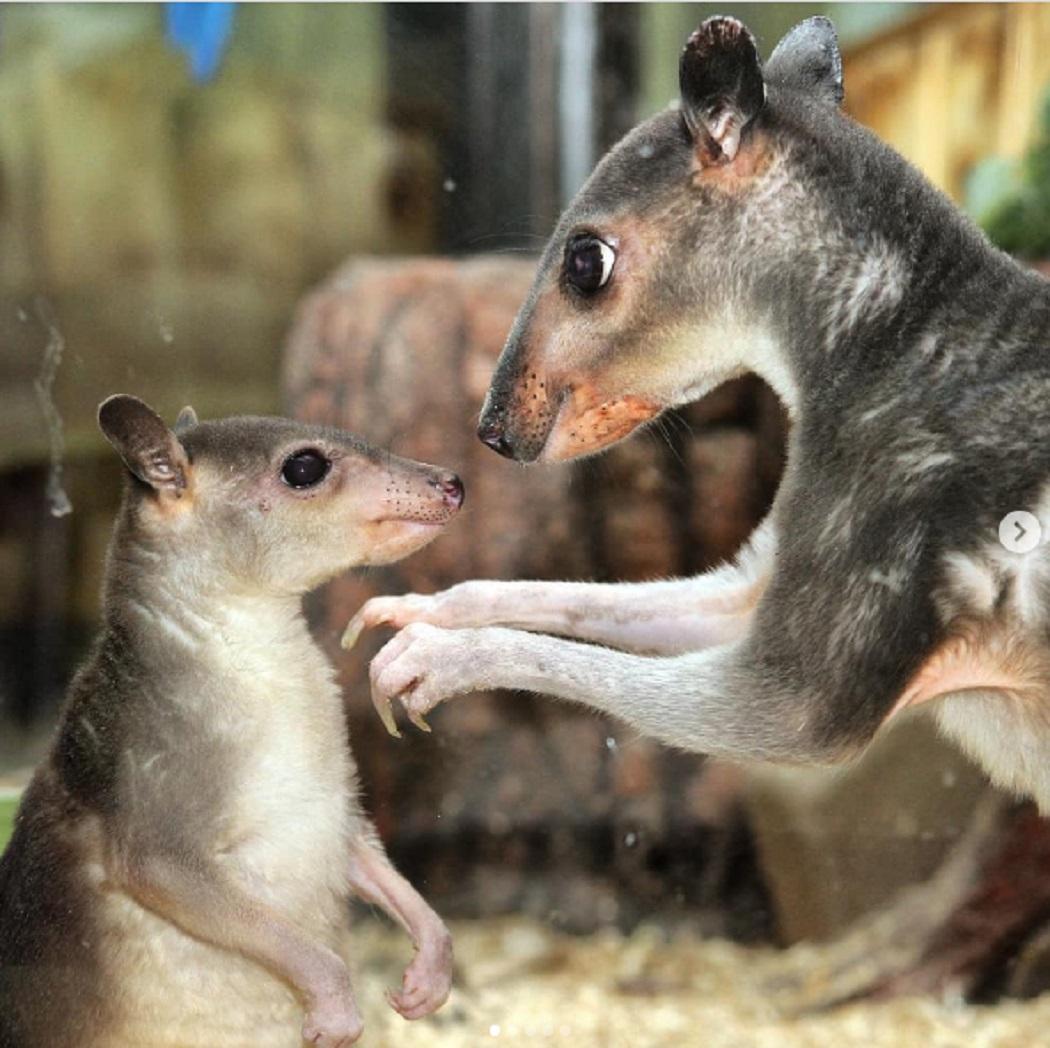 В екатеринбургском зоопарке родился кустарниковый кенгурёнок