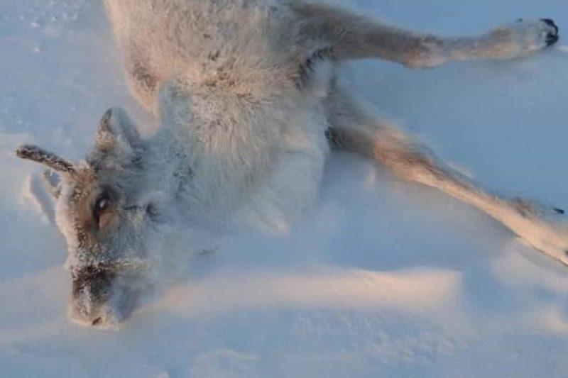 На Ямале тундровики бьют тревогу из-за массовой гибели оленей