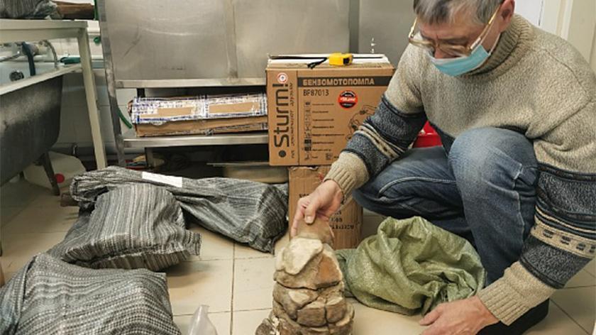 останки мамонта, найденные в районе Сеяхи, изучат в столичных лабораториях 1