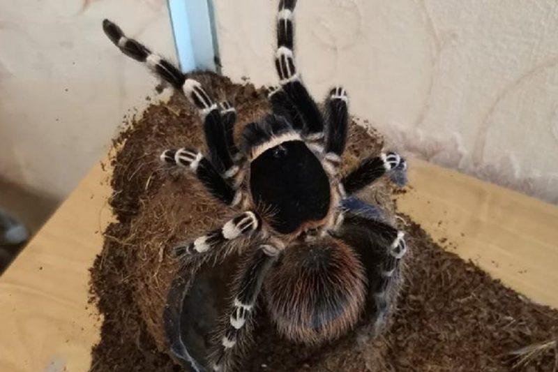 Житель Лабытнанги ищет нового хозяина для паука-птицееда