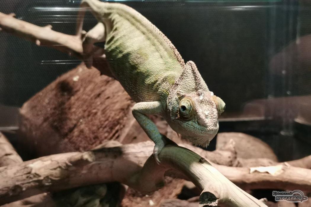 хамелеон ягуана зоопарк животные