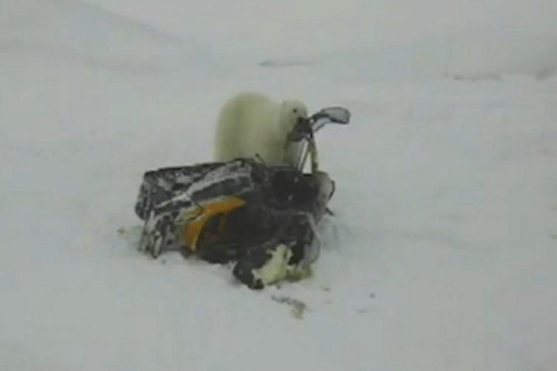 На Ямале белый медведь едва не угнал снегоход