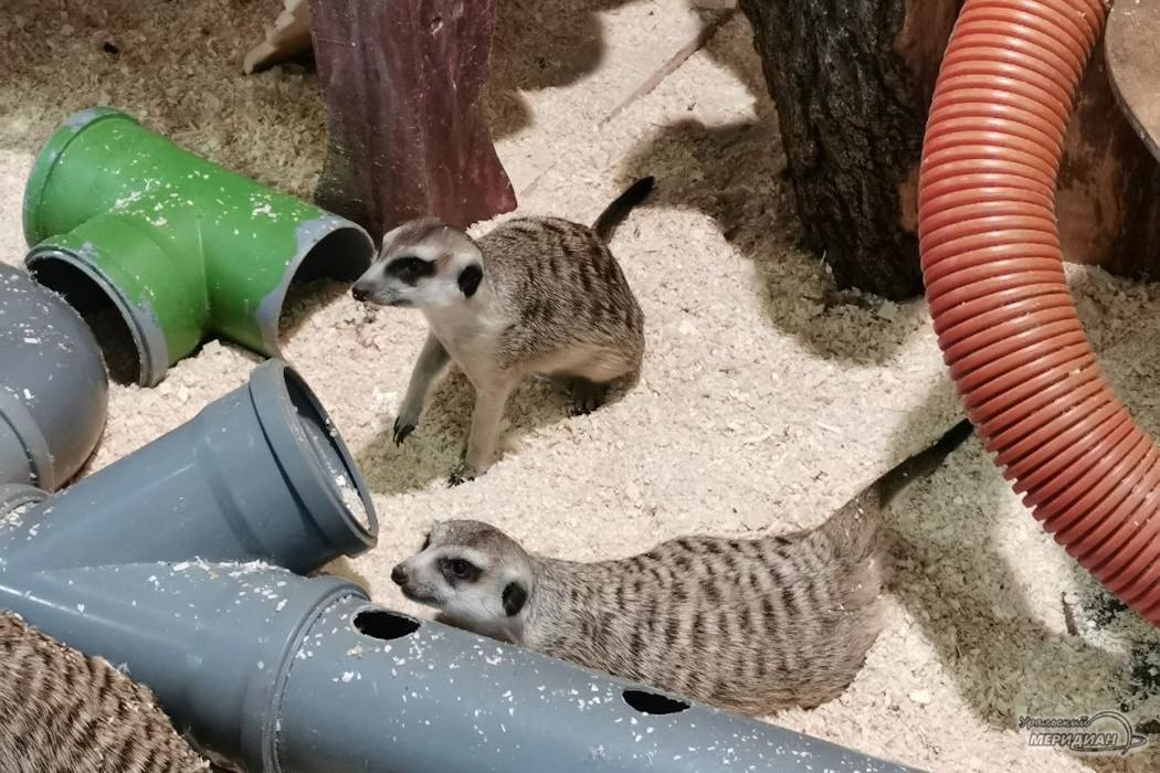 сурикат опоссум зоопарк животные