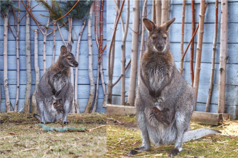 В Челябинском зоопарке сразу 2 самки кенгуру впервые показали детёнышей