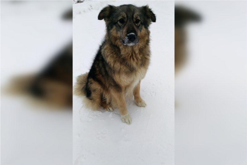 Спасённой детьми собаке, с дрейфующей льдины, ищут дом на Южном Урале