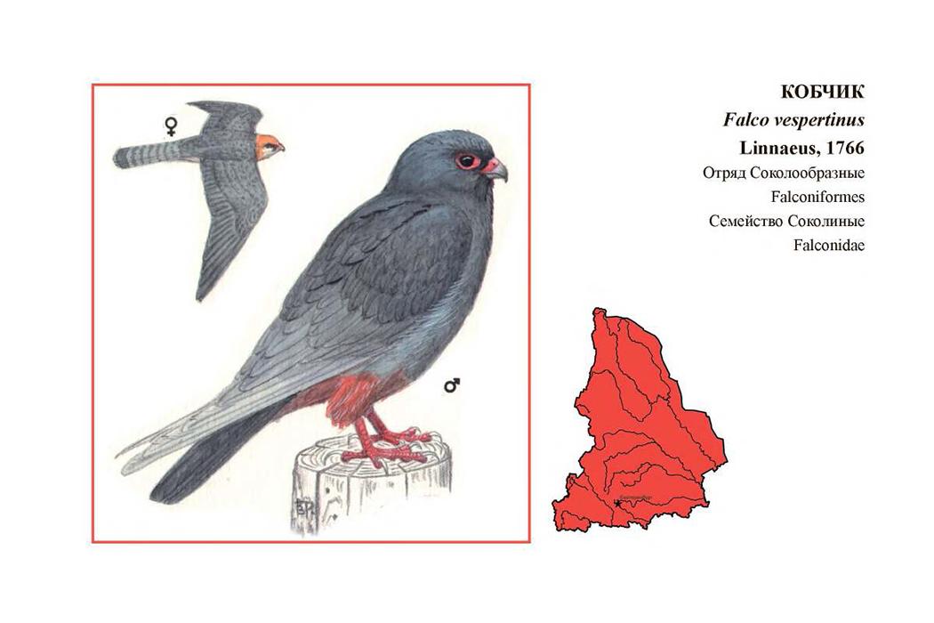 Кобчик, поганка и нетопырь – забавные названия Красной книги региона