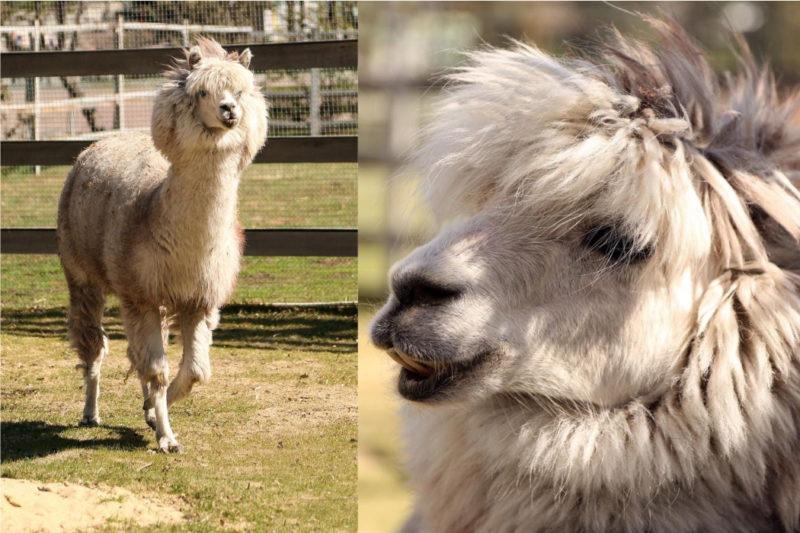 В Челябинске ищут грумера чтобы подстричь альпака Еремея