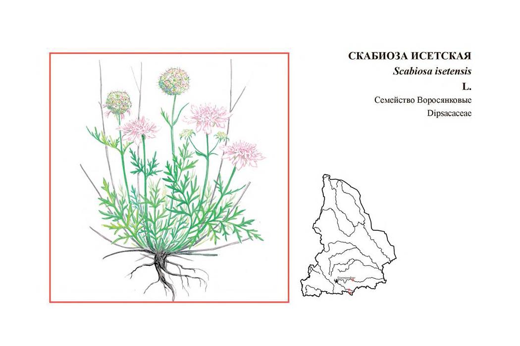 Цицербита, скабиоза и филлодоце – забавные названия Красной книги региона