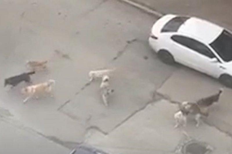 В Новом Уренгое в жилом микрорайоне поселилась стая бродячих собак