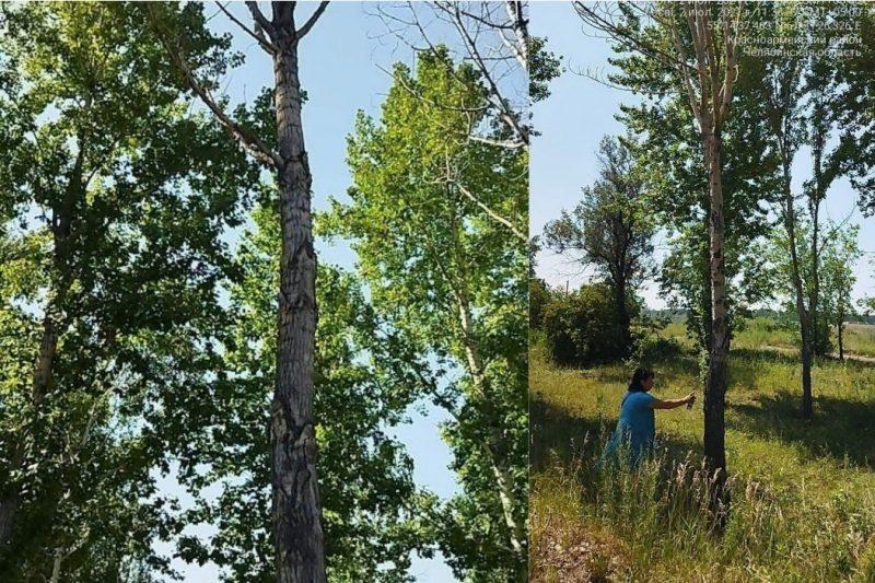 18 сухих деревьев в Челябинске снесут на Бродокалмакском тракте