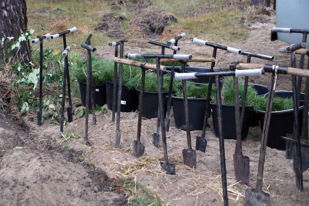 Сосенки + сосны + саженцы + высадка деревьев + посадка + посадка деревьев + высадка + лопаты