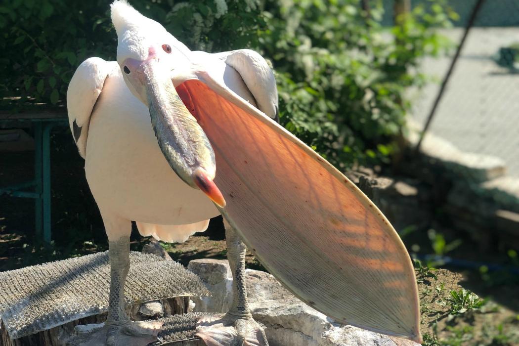 Посетители челябинского зоопарка зажали розовому пеликану клюв