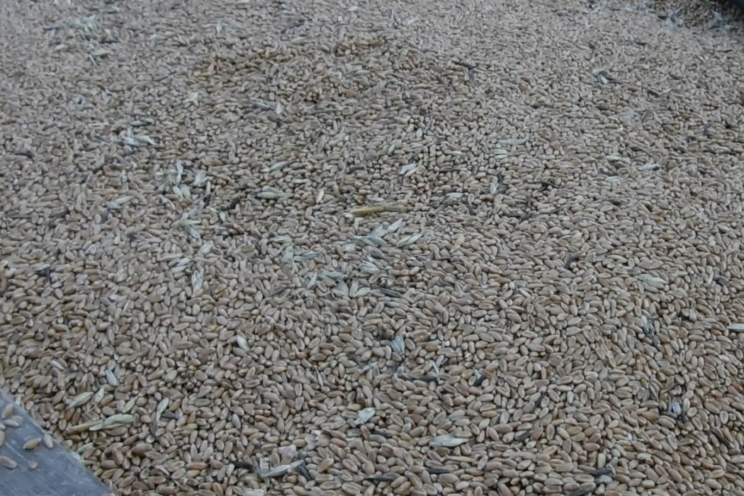 Тюменская таможня пресекла вывоз из России свыше 300 тонн зерна