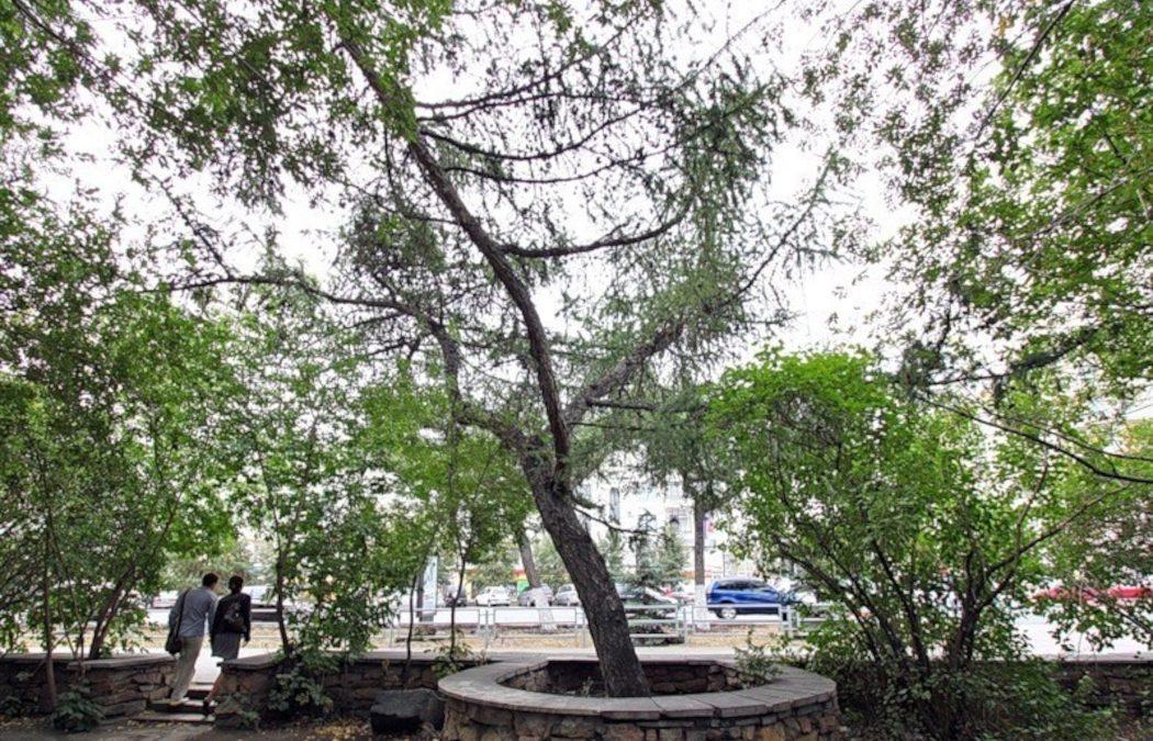 В Челябинске эксперты из Москвы выяснят возраст дуба и лиственницы