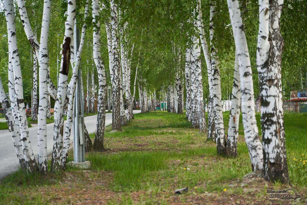 парк аллея березы